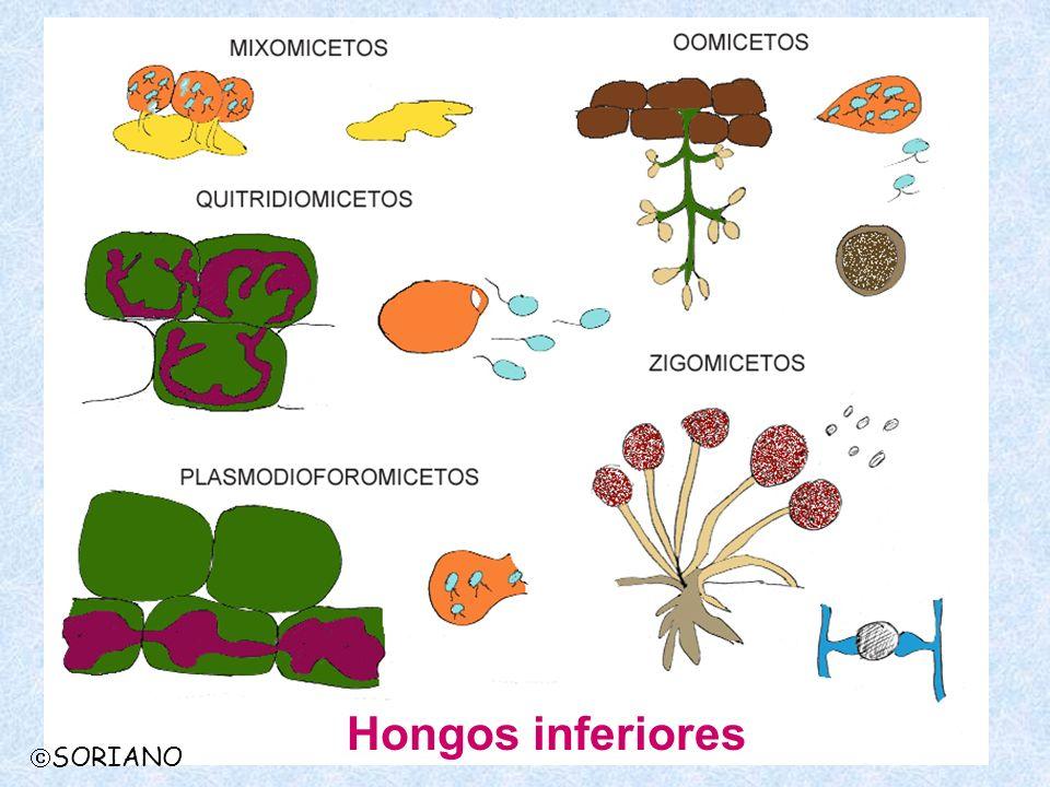 SORIANO CLASE MIXOMICETOS Alimentación: Fagotrófica Soma: no filamentoso, plasmodio Reproducción agámica: zoosporas Reproducción sexual: plasmodio Parasitismo: Pseudoparásitos