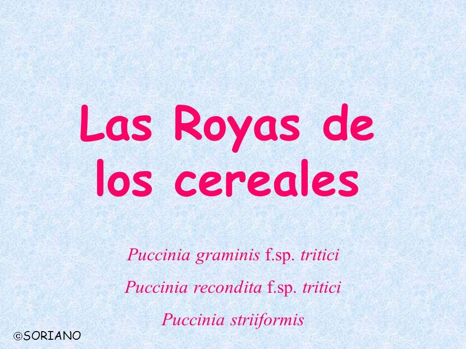 Las Royas de los cereales Puccinia graminis f.sp. tritici Puccinia recondita f.sp. tritici Puccinia striiformis SORIANO