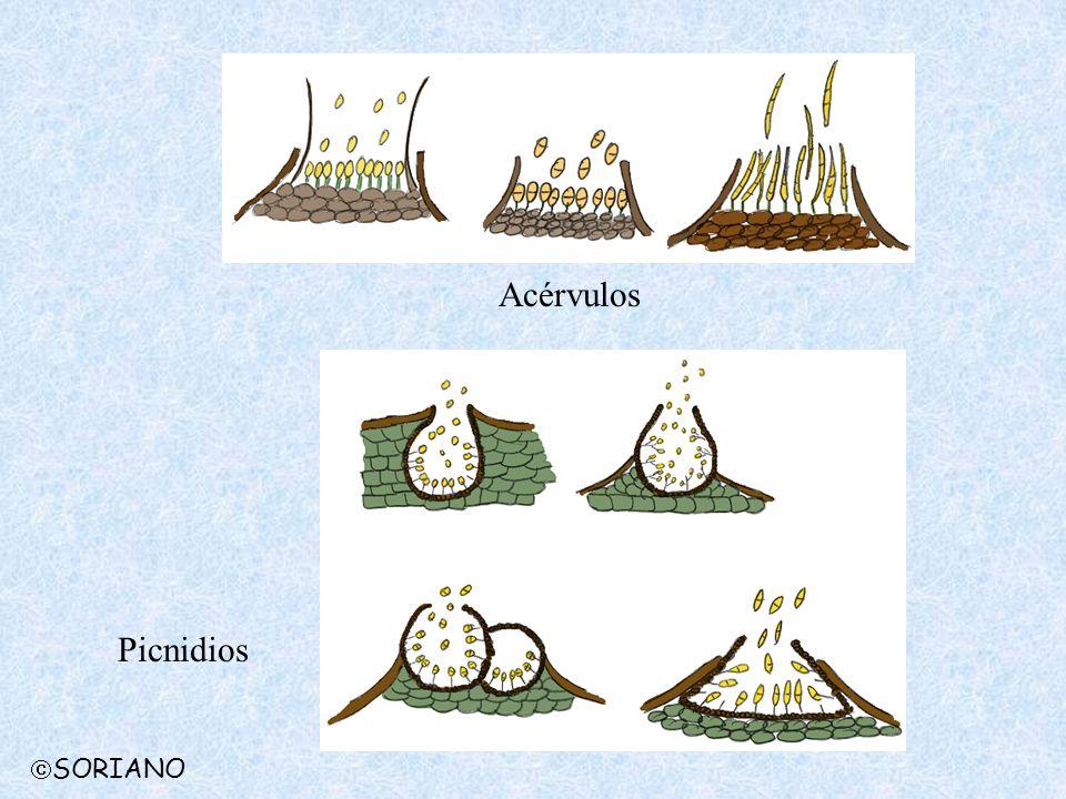 Acérvulos Picnidios