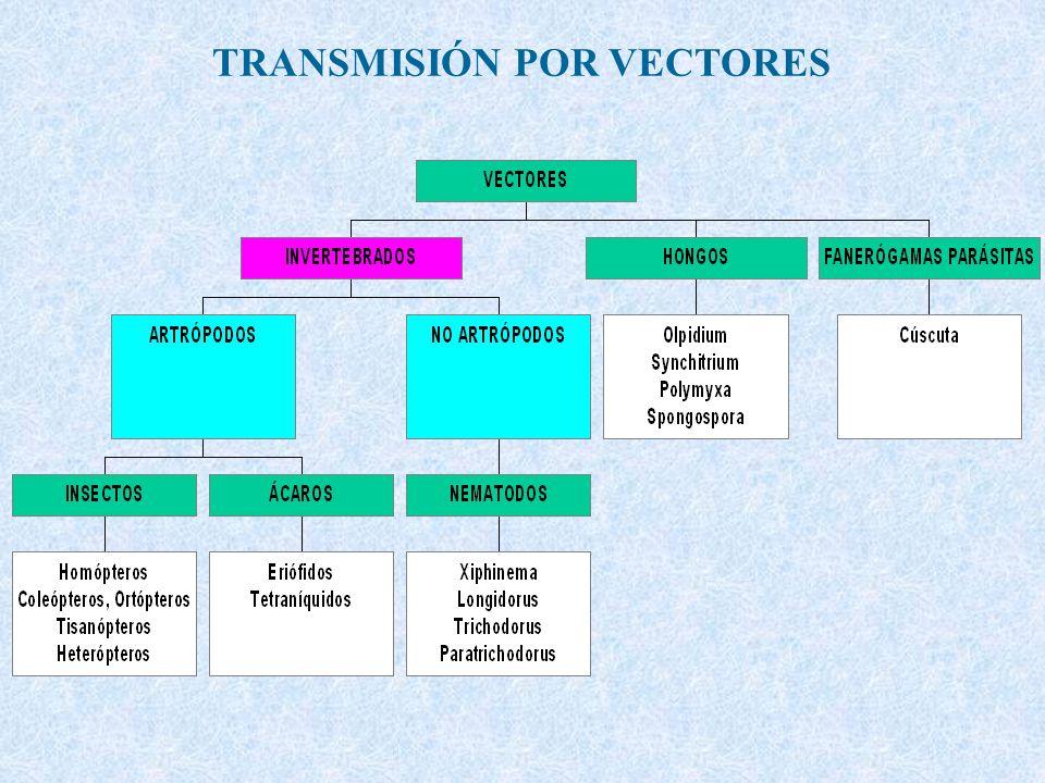 ARN cadena simple (ssRNA) Isométricas (2) Carmovirus Machlomovirus Dianthovirus Tombusvirus Tombusviridae SORIANO Tombusviridae Necrovirus Tombusviridae Tymovirus Marafivirus Sequivirus Sequiviridae Waikavirus