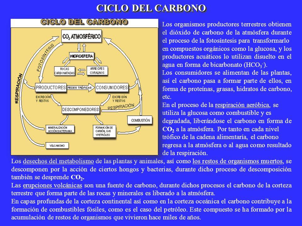 CICLO DEL CARBONO Los organismos productores terrestres obtienen el dióxido de carbono de la atmósfera durante el proceso de la fotosíntesis para tran