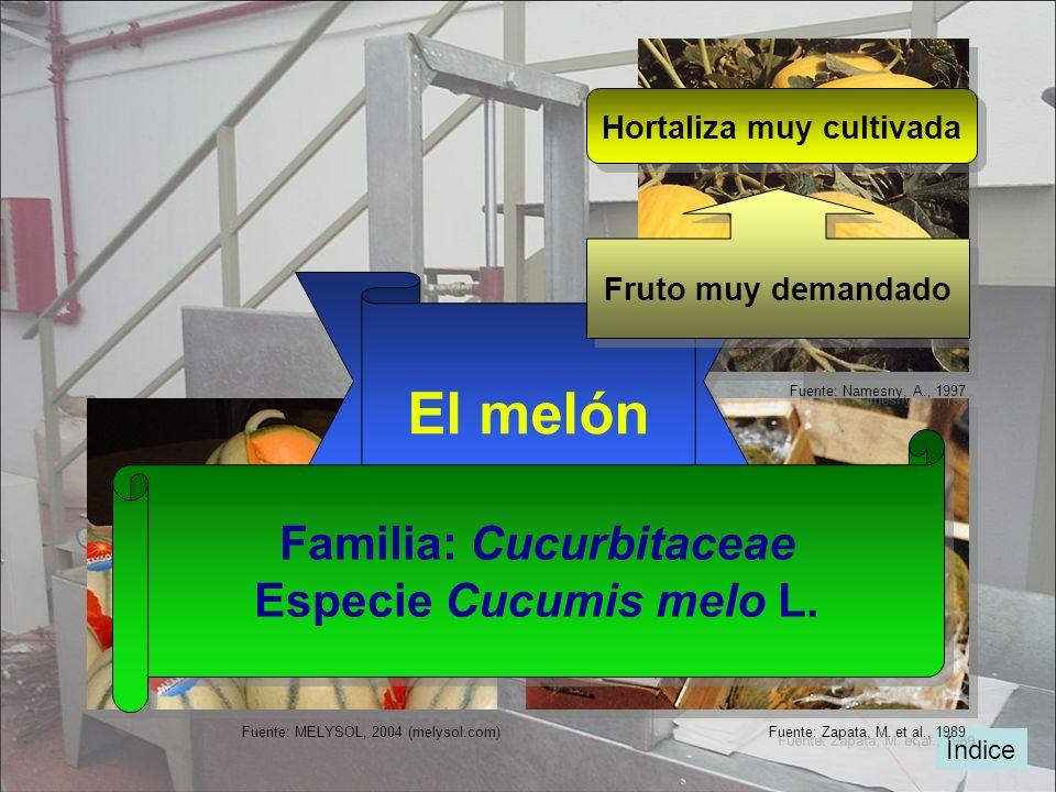 Índice Fuente: Zapata, M. et al., 1989 Fuente: Namesny, A., 1997 Fuente: MELYSOL, 2004 (melysol.com) El melón Familia: Cucurbitaceae Especie Cucumis m
