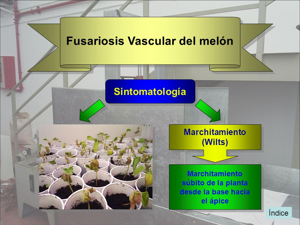 Índice Fusariosis Vascular del melón Sintomatología Las hojas amarillean progresivamente de forma acrópeta Las hojas amarillean progresivamente de for