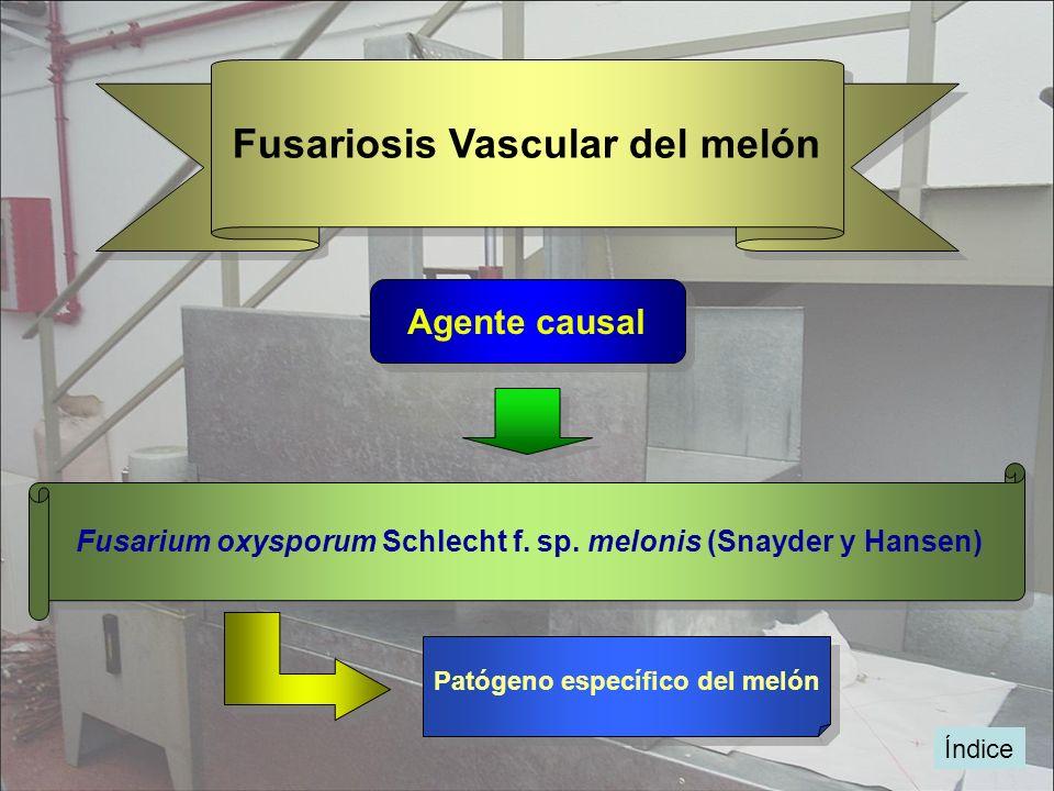 Índice Fusariosis Vascular del melón Agente causal Fusarium oxysporum Schlecht f. sp. melonis (Snayder y Hansen) Patógeno específico del melón