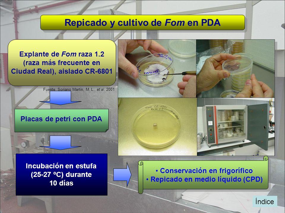 Índice Repicado y cultivo de Fom en PDA Explante de Fom raza 1.2 (raza más frecuente en Ciudad Real), aislado CR-6801 Explante de Fom raza 1.2 (raza m