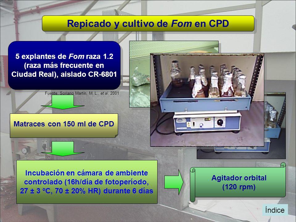 Índice Repicado y cultivo de Fom en CPD 5 explantes de Fom raza 1.2 (raza más frecuente en Ciudad Real), aislado CR-6801 5 explantes de Fom raza 1.2 (
