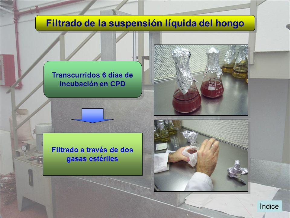 Índice Filtrado de la suspensión líquida del hongo Transcurridos 6 días de incubación en CPD Transcurridos 6 días de incubación en CPD Filtrado a trav
