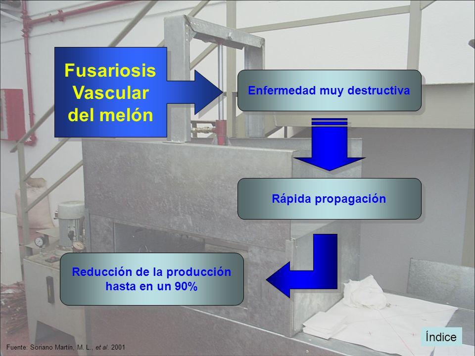 Fusariosis Vascular del melón Fusariosis Vascular del melón Enfermedad muy destructiva Reducción de la producción hasta en un 90% Reducción de la prod