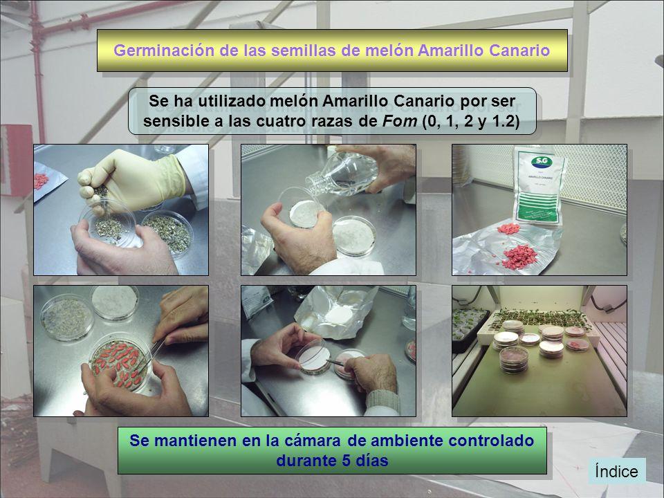 Índice Germinación de las semillas de melón Amarillo Canario Se ha utilizado melón Amarillo Canario por ser sensible a las cuatro razas de Fom (0, 1,