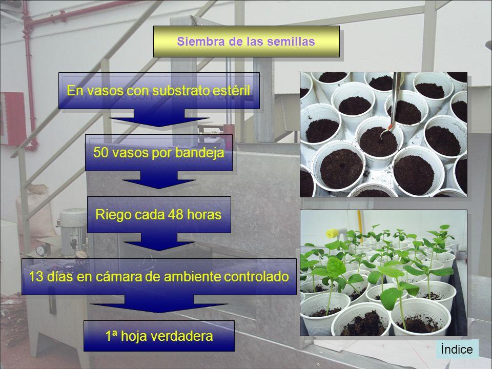 Índice Siembra de las semillas En vasos con substrato estéril 50 vasos por bandeja Riego cada 48 horas 13 días en cámara de ambiente controlado 1ª hoj