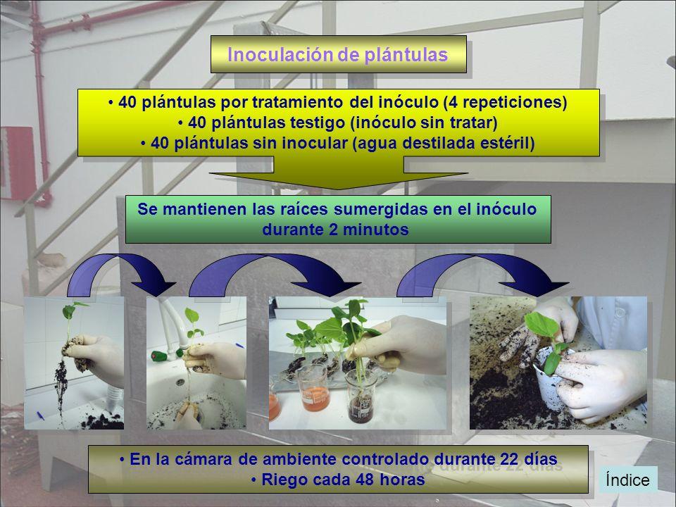 Índice Inoculación de plántulas 40 plántulas por tratamiento del inóculo (4 repeticiones) 40 plántulas testigo (inóculo sin tratar) 40 plántulas sin i