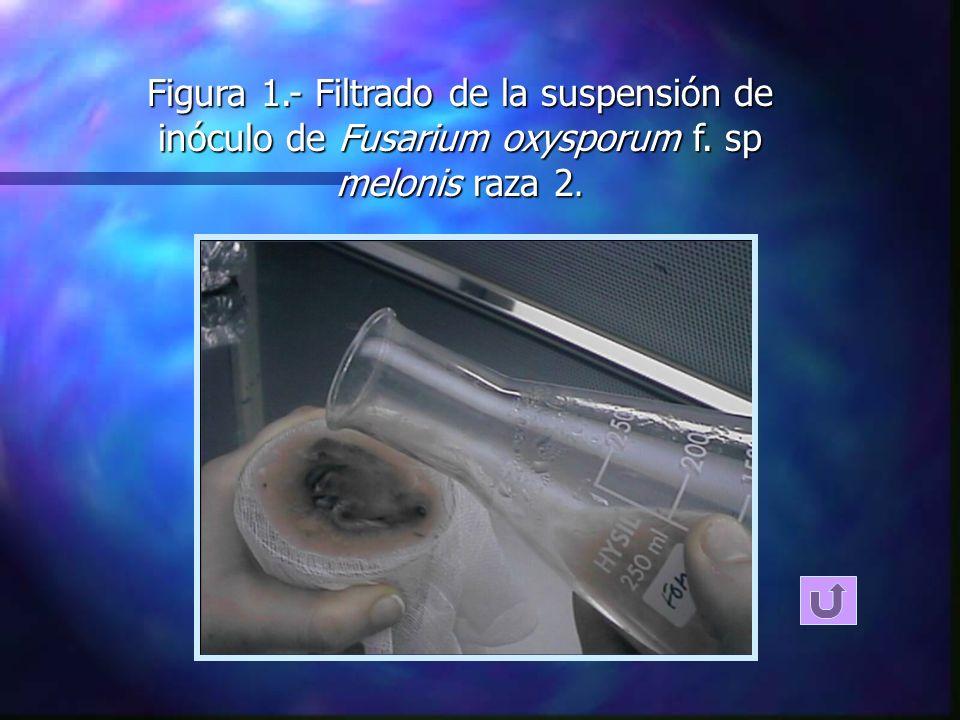 n Incremento del inóculo n Tratamiento térmico con microondas n Viabilidad del inóculo MÉTODO