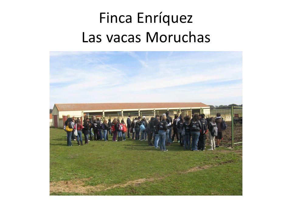 Finca Enríquez Las vacas Moruchas