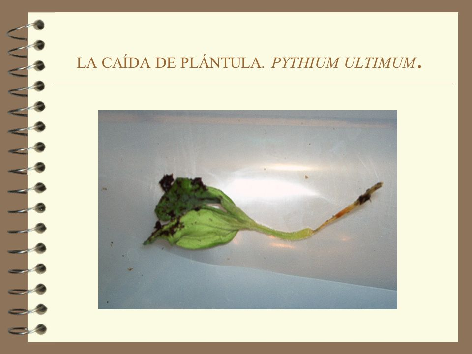 LA CAÍDA DE PLÁNTULA. PYTHIUM ULTIMUM.