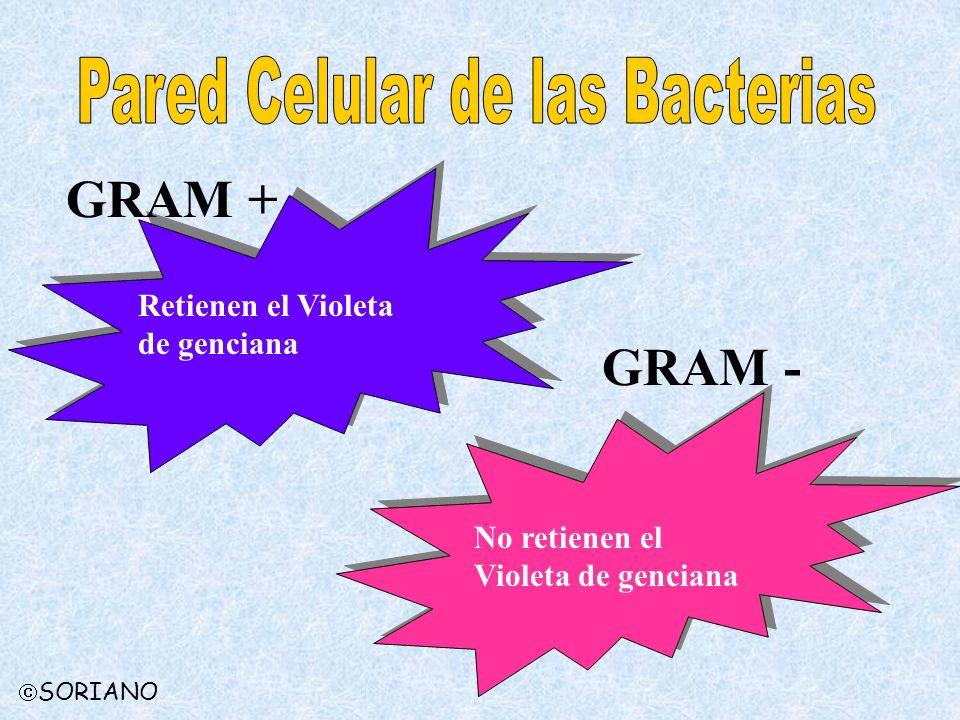 GRAM + GRAM - Retienen el Violeta de genciana No retienen el Violeta de genciana SORIANO
