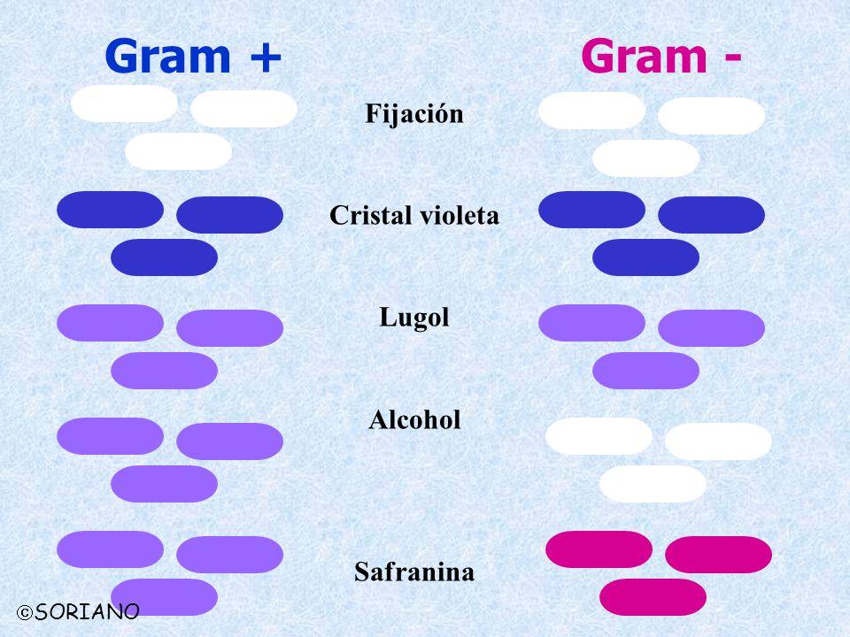 Gram -Gram + Fijación Cristal violeta Lugol Alcohol Safranina SORIANO