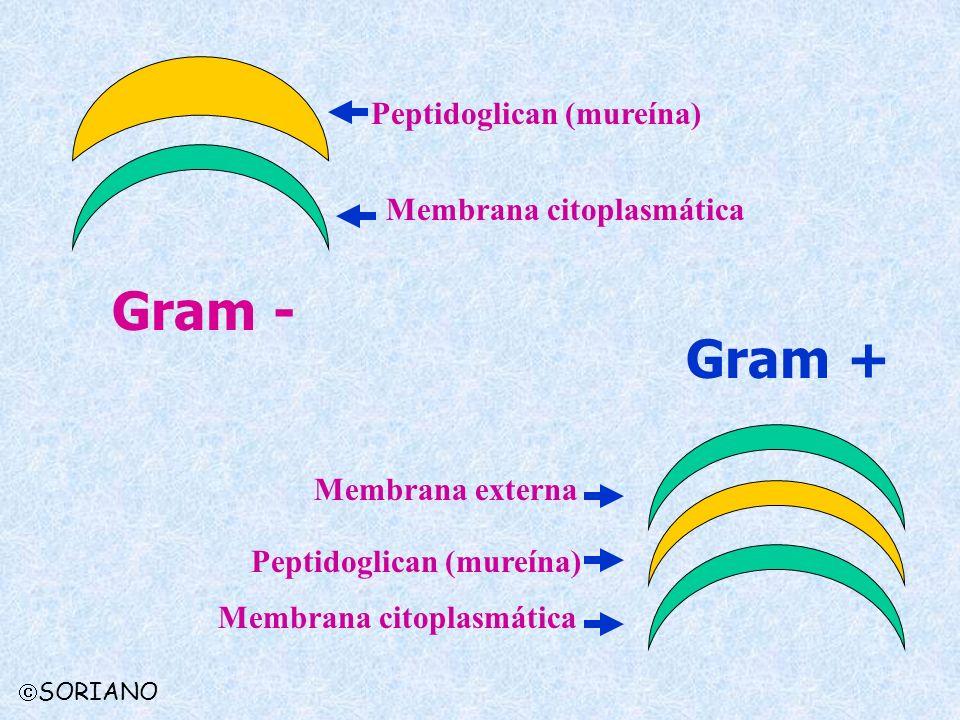 Peptidoglican (mureína) Membrana citoplasmática Membrana externa Gram - Gram + Peptidoglican (mureína) Membrana citoplasmática SORIANO