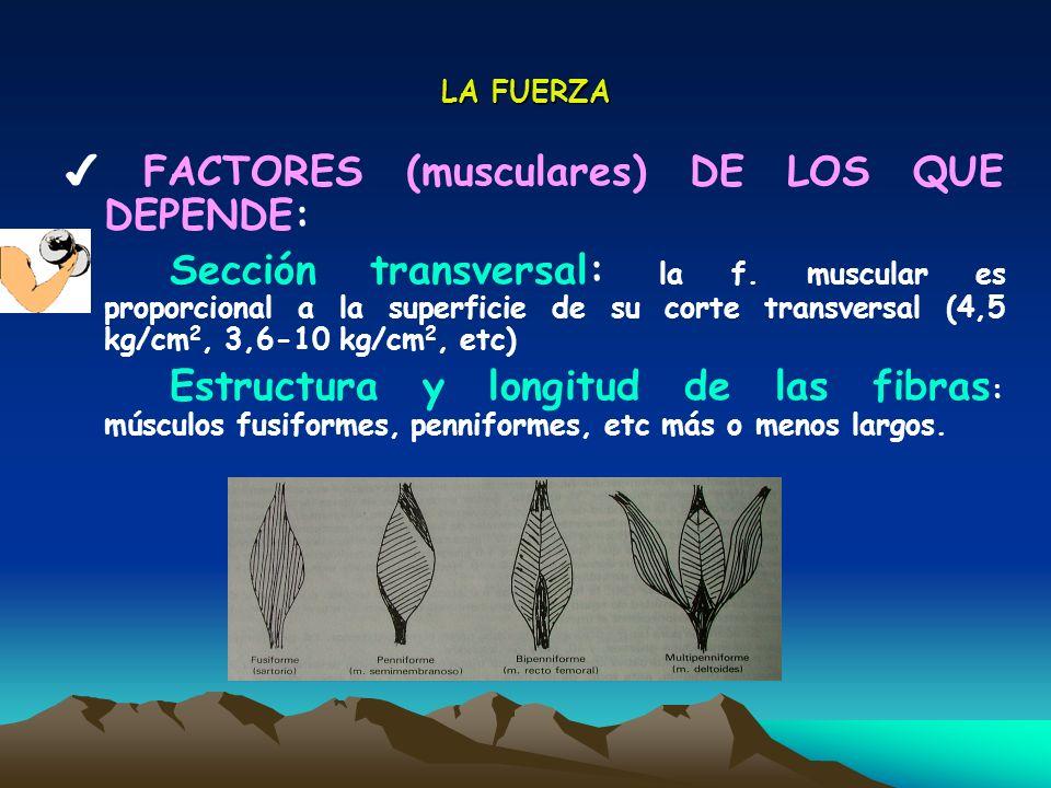 LA FUERZA FACTORES (musculares) DE LOS QUE DEPENDE: Tipo de fibras : I (lentas y resistentes), IIa y IIb (más rápidas, fuertes y fatigables) Inervación : número de estímulos por unidad de tiempo, reclutamiento de fibras Sincronización : coordinación de los estímulos en el propio músculo y en otros músculos