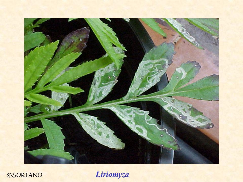 SORIANO Liriomyza