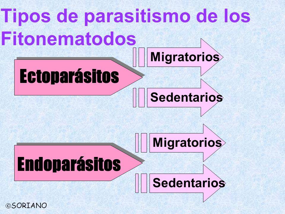 Tipos de parasitismo de los Fitonematodos Ectoparásitos Endoparásitos Migratorios Sedentarios