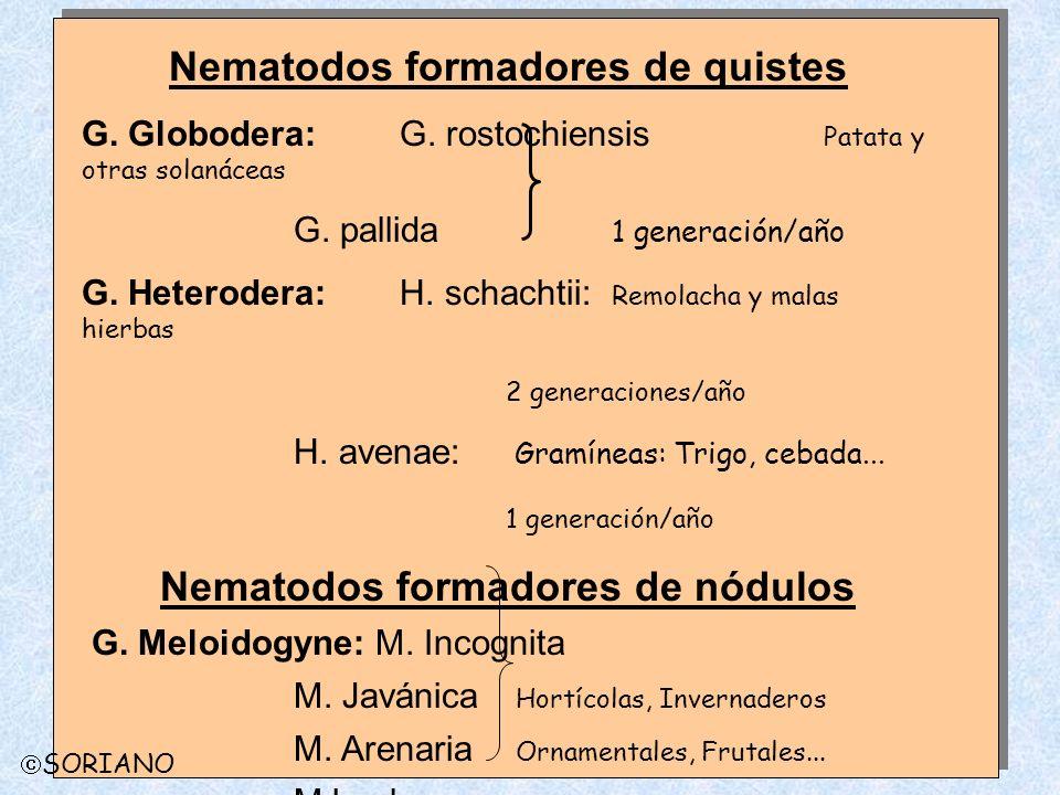 Nematodos formadores de quistes G. Globodera: G. rostochiensis Patata y otras solanáceas G. pallida 1 generación/año G. Heterodera: H. schachtii: Remo
