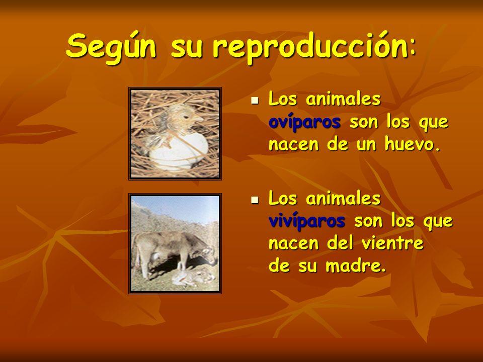 Según su reproducción: Los animales ovíparos son los que nacen de un huevo. Los animales ovíparos son los que nacen de un huevo. Los animales vivíparo