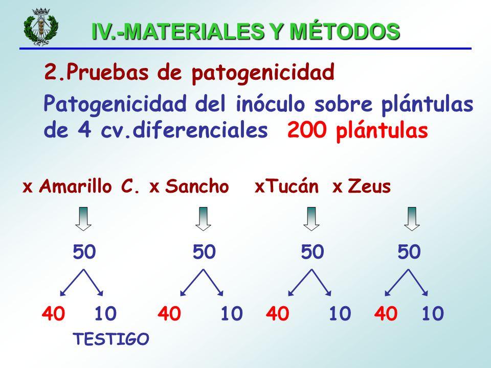 IV.-MATERIALES Y MÉTODOS 2.Pruebas de patogenicidad Patogenicidad del inóculo sobre plántulas de 4 cv.diferenciales x Amarillo C. x Sancho x Tucán x Z