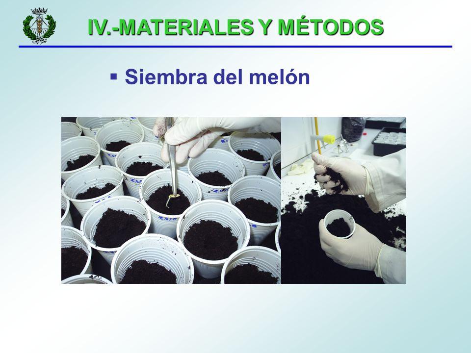 IV.-MATERIALES Y MÉTODOS Siembra del melón