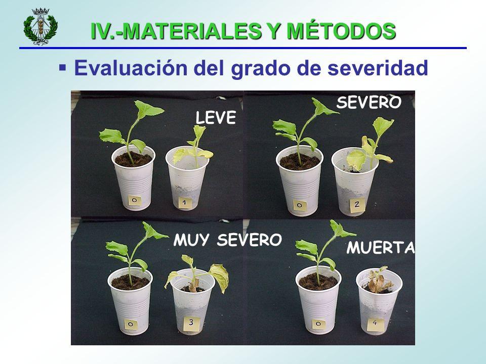 IV.-MATERIALES Y MÉTODOS Evaluación del grado de severidad LEVE SEVERO MUY SEVERO MUERTA