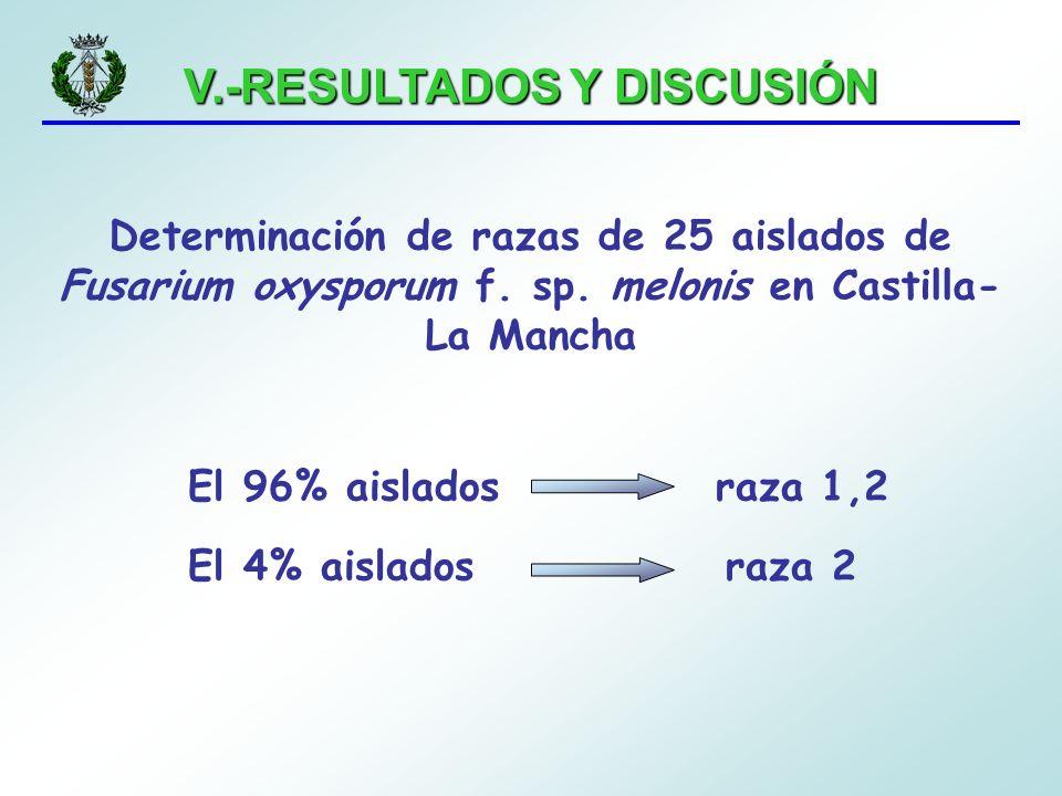 V.-RESULTADOS Y DISCUSIÓN Determinación de razas de 25 aislados de Fusarium oxysporum f. sp. melonis en Castilla- La Mancha El 96% aislados raza 1,2 E