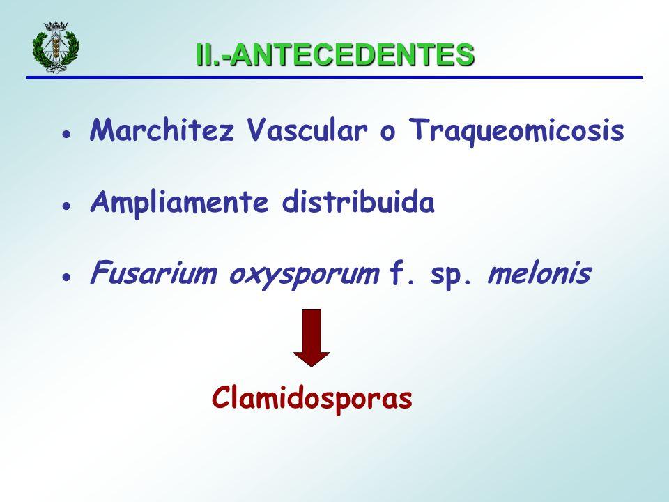 II.-ANTECEDENTES Marchitez Vascular o Traqueomicosis Ampliamente distribuida Fusarium oxysporum f. sp. melonis Clamidosporas