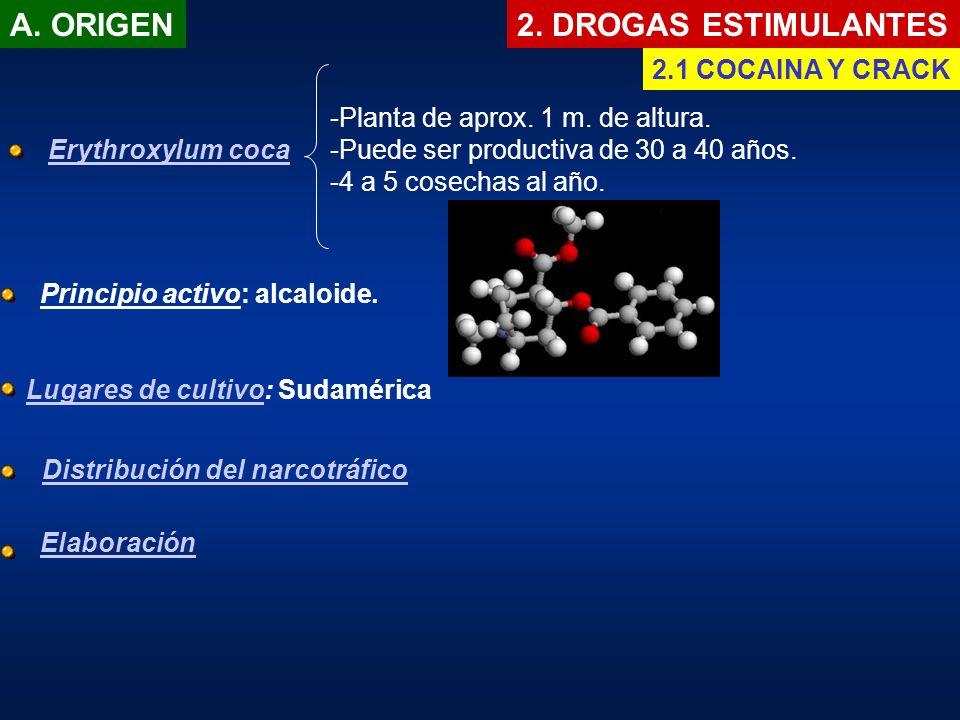 2. DROGAS ESTIMULANTES 2.1 COCAINA Y CRACK A. ORIGEN Erythroxylum coca -Planta de aprox. 1 m. de altura. -Puede ser productiva de 30 a 40 años. -4 a 5