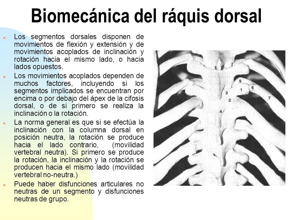 Biomecánica del ráquis dorsal n Los segmentos dorsales disponen de movimientos de flexión y extensión y de movimientos acoplados de inclinación y rota