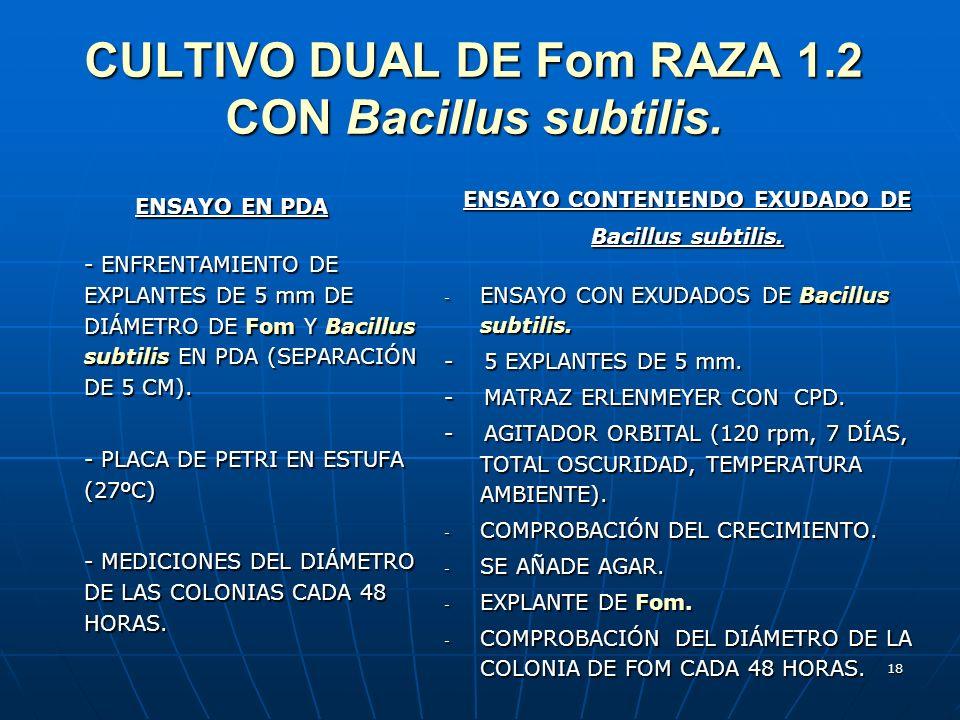 18 CULTIVO DUAL DE Fom RAZA 1.2 CON Bacillus subtilis. ENSAYO EN PDA ENSAYO EN PDA - ENFRENTAMIENTO DE EXPLANTES DE 5 mm DE DIÁMETRO DE Fom Y Bacillus
