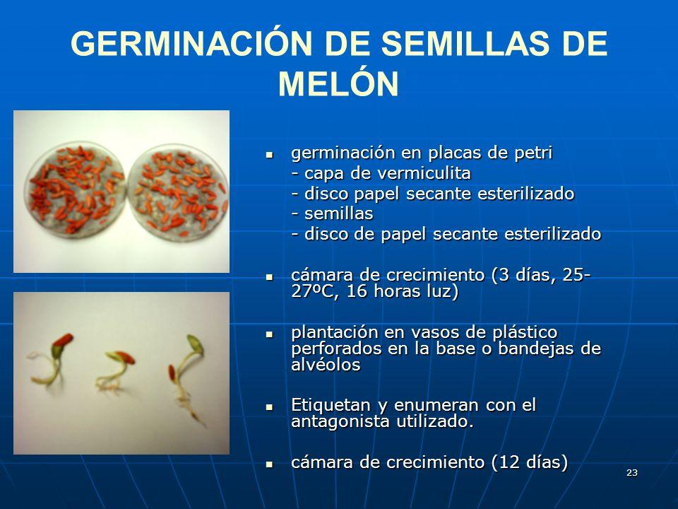 23 GERMINACIÓN DE SEMILLAS DE MELÓN germinación en placas de petri germinación en placas de petri - capa de vermiculita - disco papel secante esterili