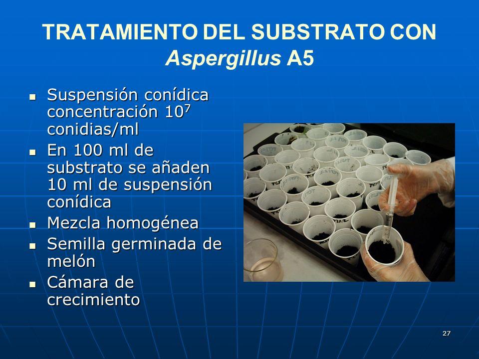 27 TRATAMIENTO DEL SUBSTRATO CON Aspergillus A5 Suspensión conídica concentración 10 7 conidias/ml Suspensión conídica concentración 10 7 conidias/ml