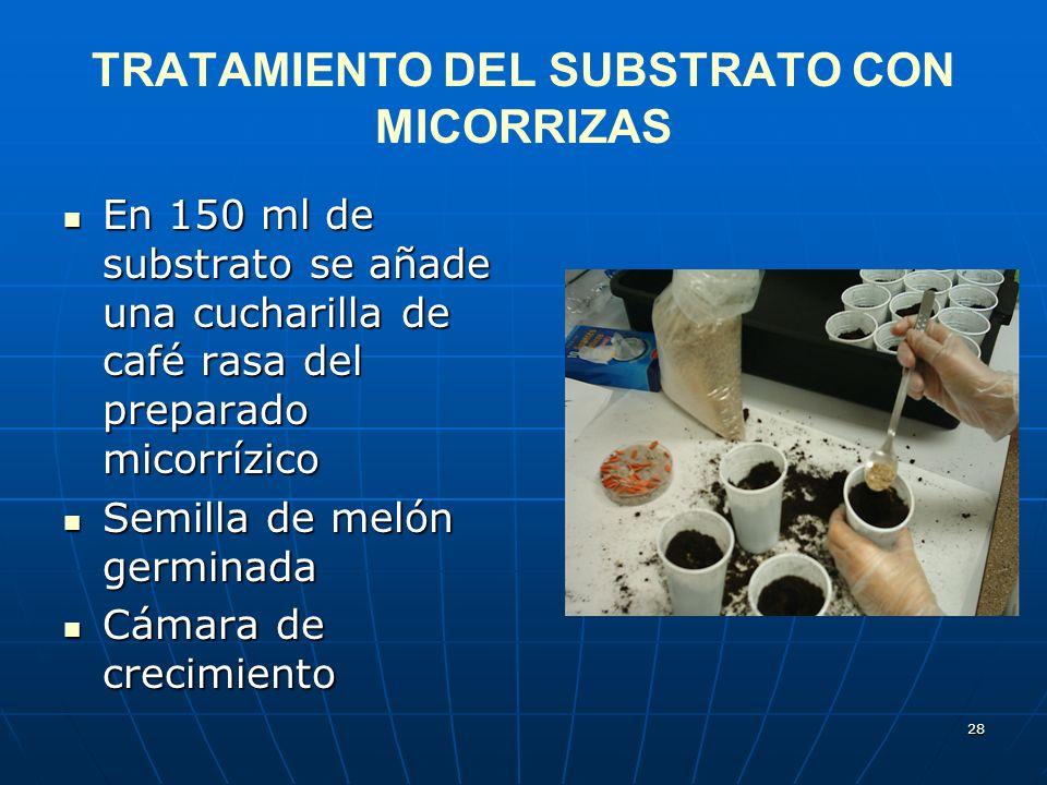 28 TRATAMIENTO DEL SUBSTRATO CON MICORRIZAS En 150 ml de substrato se añade una cucharilla de café rasa del preparado micorrízico En 150 ml de substra