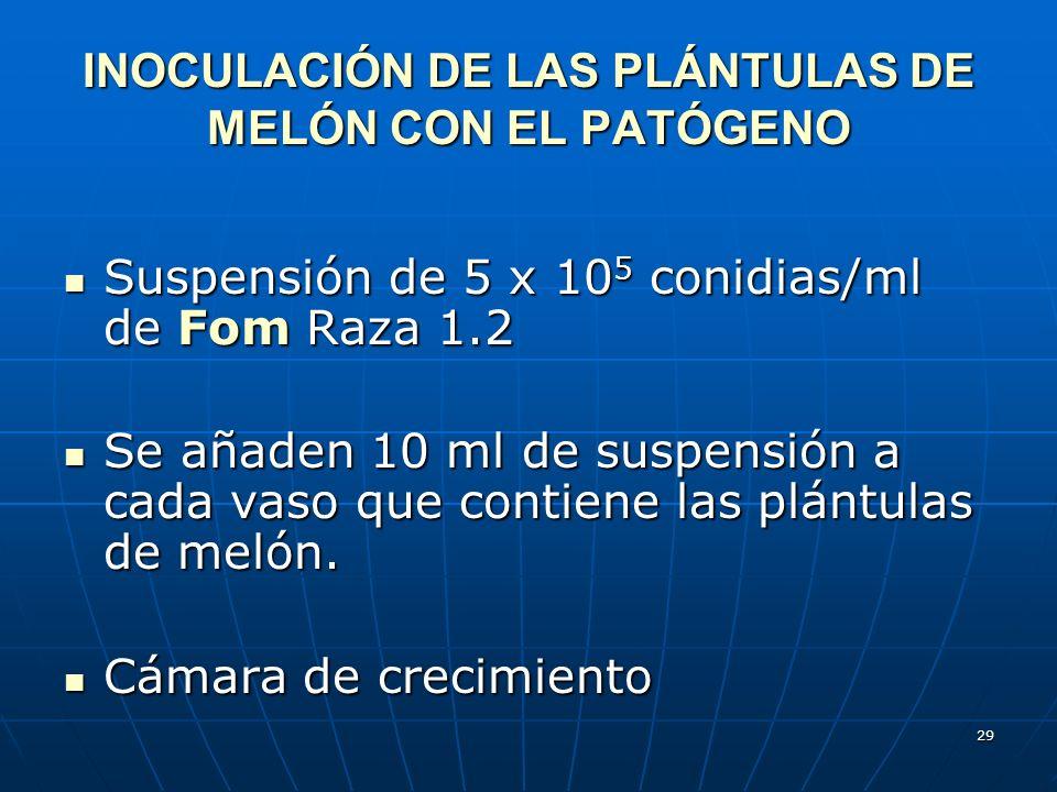 29 INOCULACIÓN DE LAS PLÁNTULAS DE MELÓN CON EL PATÓGENO Suspensión de 5 x 10 5 conidias/ml de Fom Raza 1.2 Suspensión de 5 x 10 5 conidias/ml de Fom