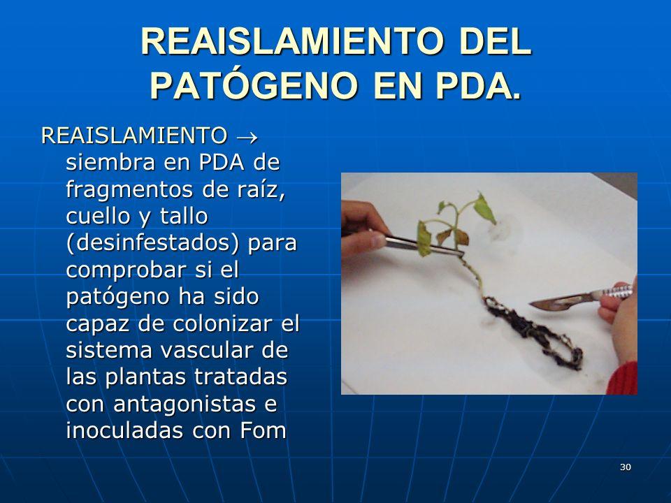 30 REAISLAMIENTO DEL PATÓGENO EN PDA. REAISLAMIENTO siembra en PDA de fragmentos de raíz, cuello y tallo (desinfestados) para comprobar si el patógeno