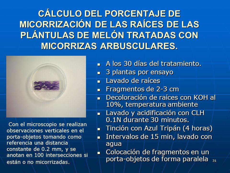31 CÁLCULO DEL PORCENTAJE DE MICORRIZACIÓN DE LAS RAÍCES DE LAS PLÁNTULAS DE MELÓN TRATADAS CON MICORRIZAS ARBUSCULARES. A los 30 días del tratamiento