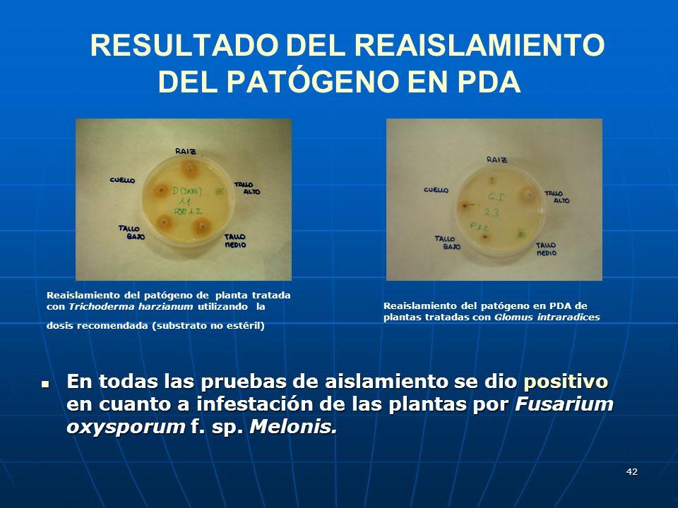 42 RESULTADO DEL REAISLAMIENTO DEL PATÓGENO EN PDA En todas las pruebas de aislamiento se dio positivo en cuanto a infestación de las plantas por Fusa