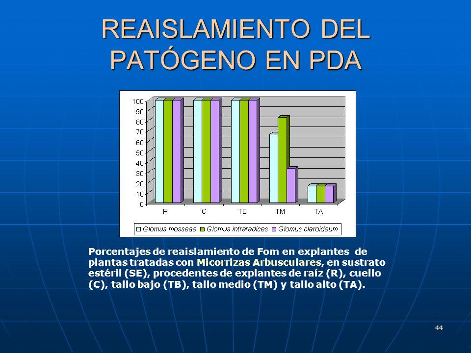 44 REAISLAMIENTO DEL PATÓGENO EN PDA Porcentajes de reaislamiento de Fom en explantes de plantas tratadas con Micorrizas Arbusculares, en sustrato est