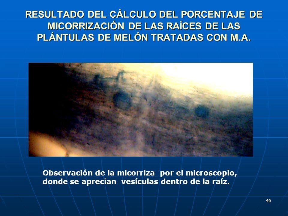 46 RESULTADO DEL CÁLCULO DEL PORCENTAJE DE MICORRIZACIÓN DE LAS RAÍCES DE LAS PLÁNTULAS DE MELÓN TRATADAS CON M.A. Observación de la micorriza por el