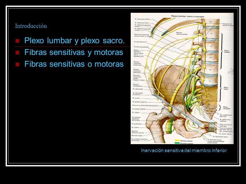 Introducción Plexo lumbar y plexo sacro. Fibras sensitivas y motoras Fibras sensitivas o motoras Inervación sensitiva del miembro inferior