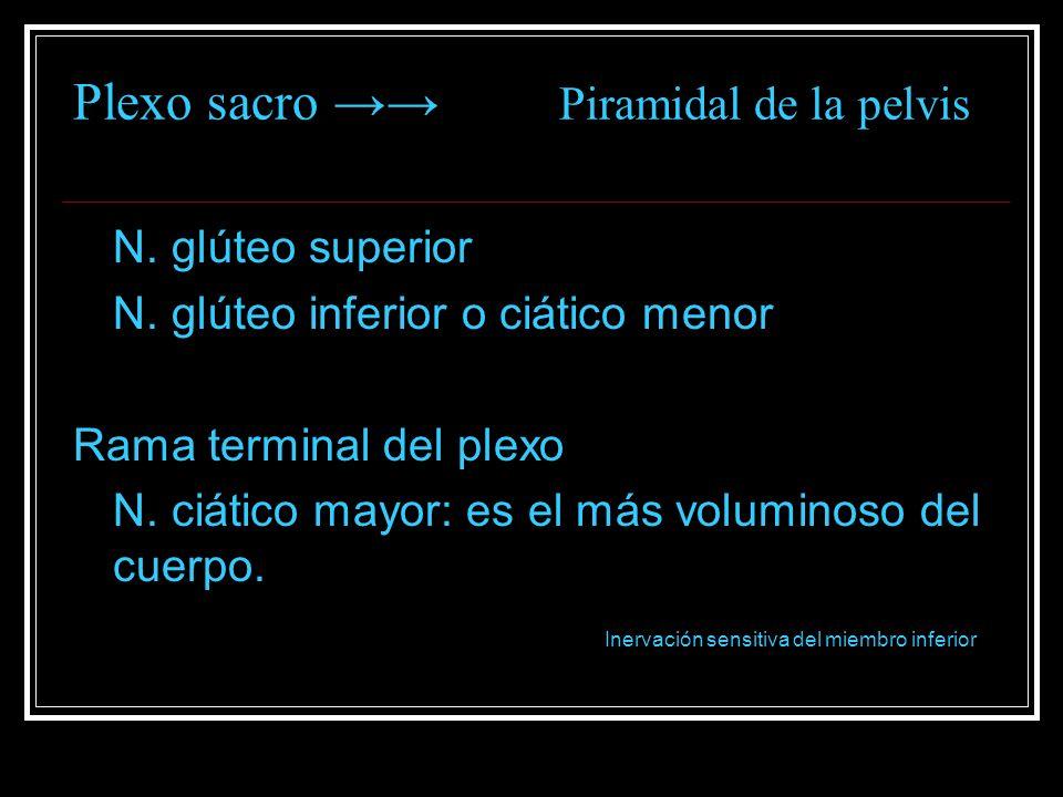 Plexo sacro Piramidal de la pelvis N. glúteo superior N. glúteo inferior o ciático menor Rama terminal del plexo N. ciático mayor: es el más voluminos