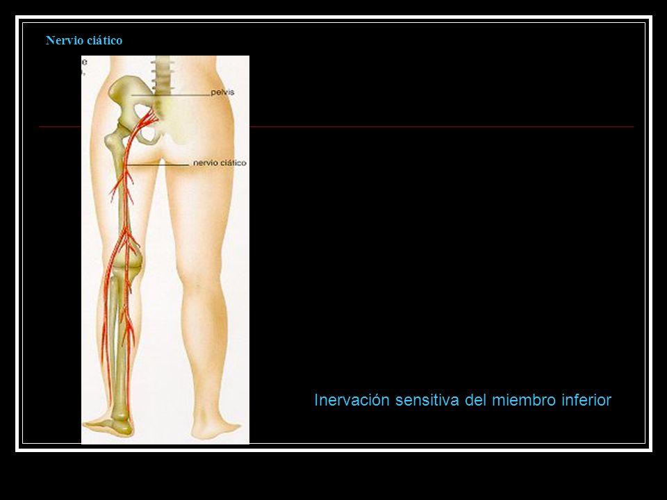 Nervio ciático Inervación sensitiva del miembro inferior