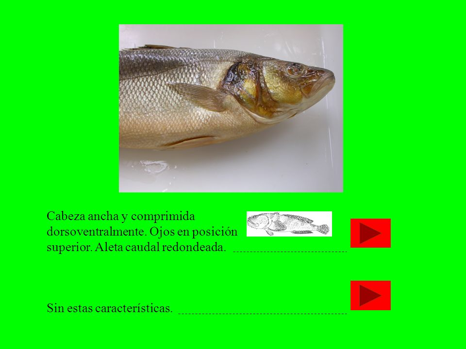 Cabeza ancha y comprimida dorsoventralmente. Ojos en posición superior. Aleta caudal redondeada. Sin estas características.