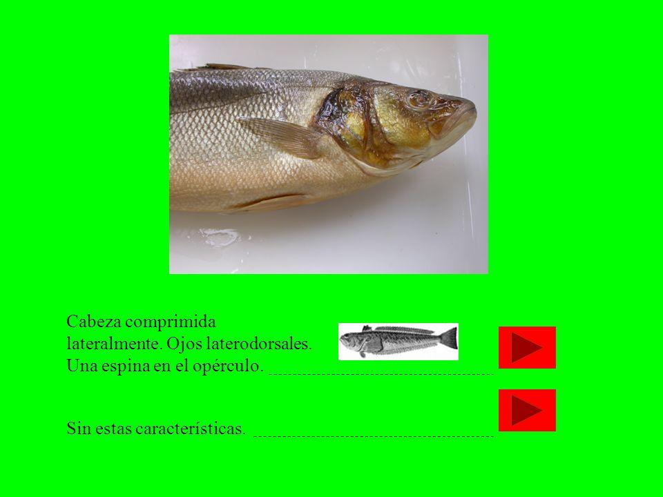 Cabeza comprimida lateralmente. Ojos laterodorsales. Una espina en el opérculo. Sin estas características.