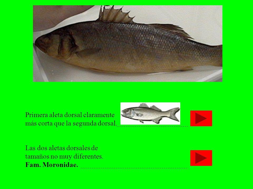 Primera aleta dorsal claramente más corta que la segunda dorsal. Las dos aletas dorsales de tamaños no muy diferentes. Fam. Moronidae.