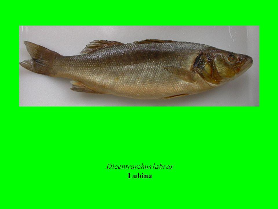 Dicentrarchus labrax Lubina